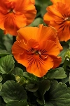 Pansy - Frizzle Sizzle Orange